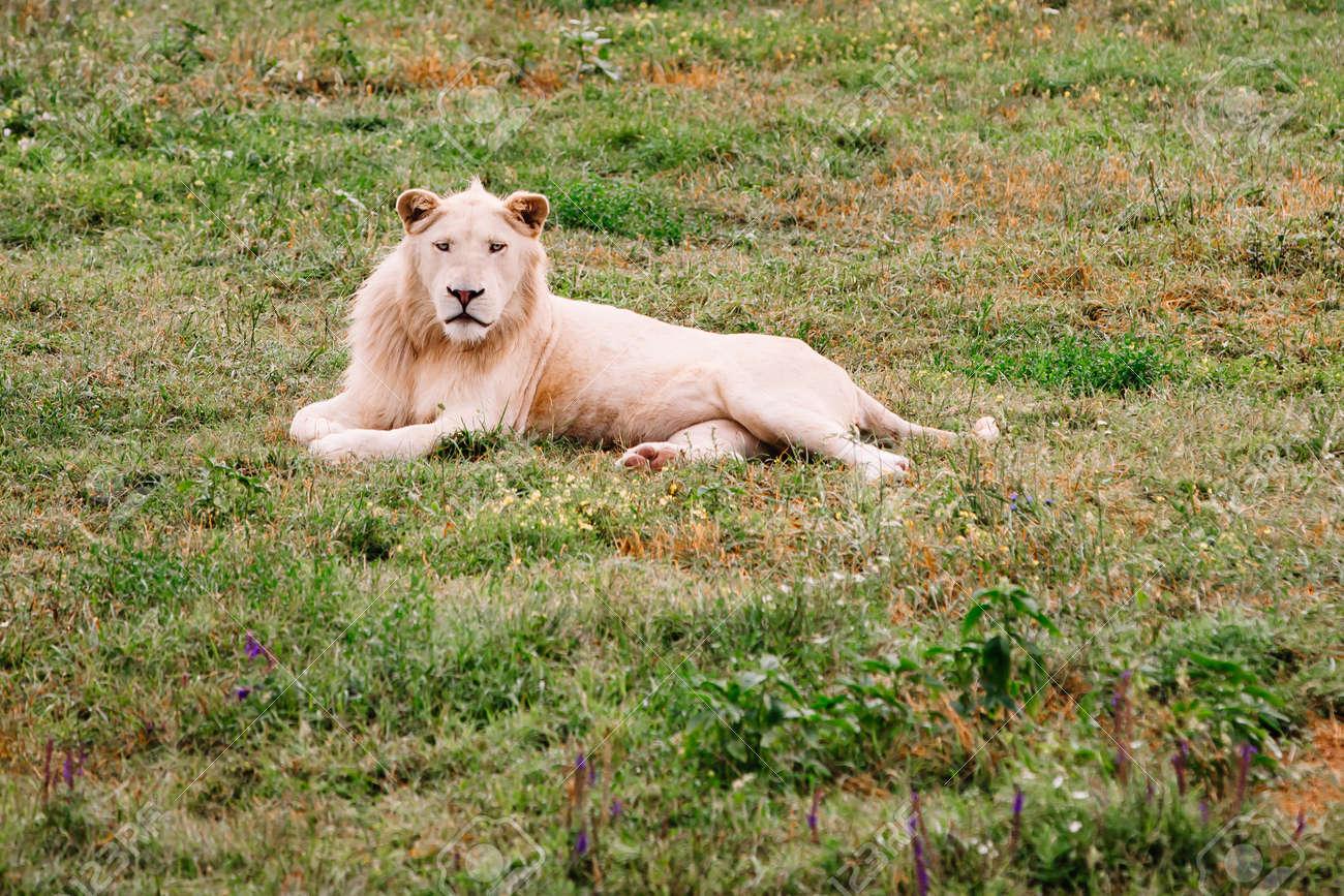 Large white lion, Panthera leo, portrait. Big male lion looking at camera. - 171940297