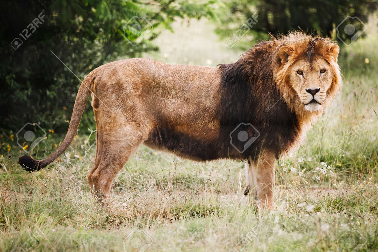 Single male lion portrait. African male lion looking at camera. - 172251799