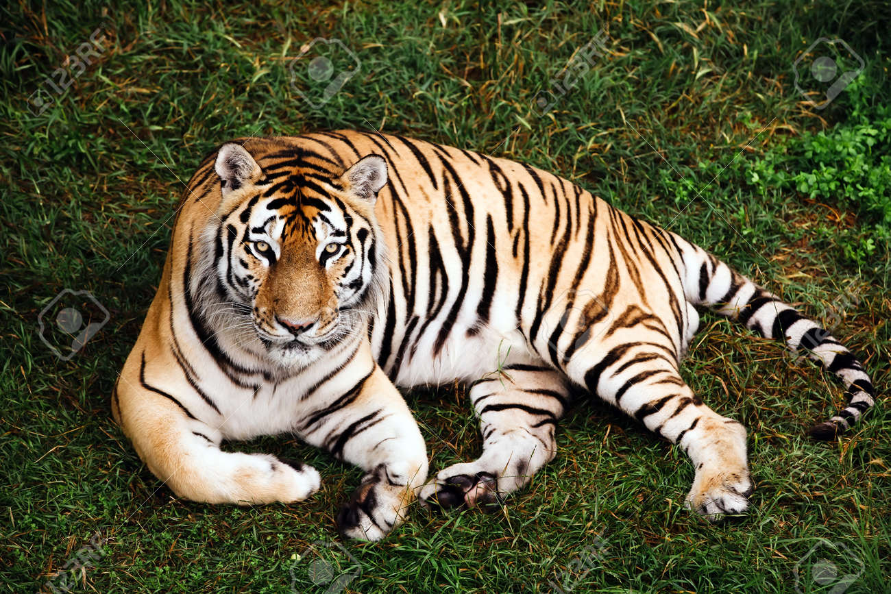 Portrait of a Amur tiger on a grass in summer day. - 172251839