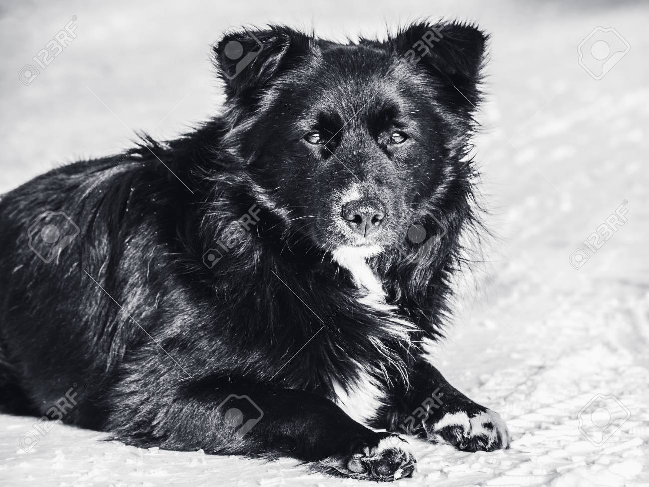 A stray dog lies on the snow monochrome photo. Homelessness, loneliness, hunger. - 98833590