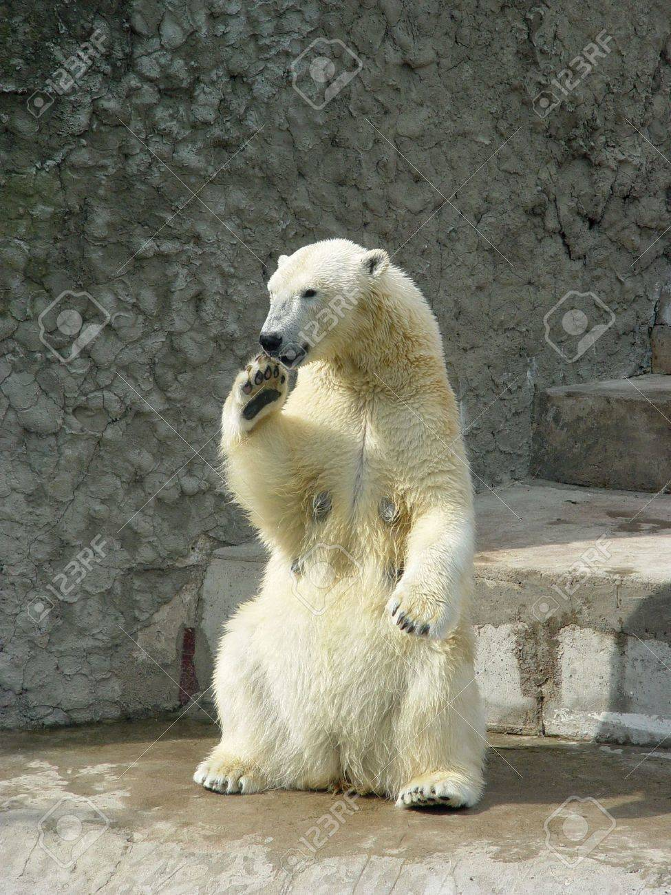 Polar she-bear standing up on the hind legs - 730426
