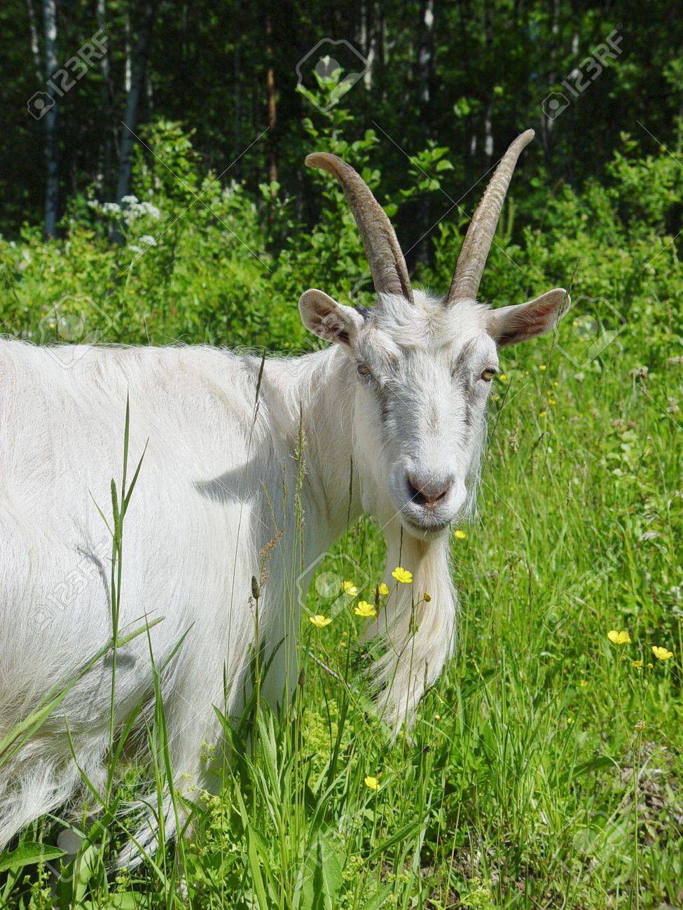 White goat in the high grass - 1007283