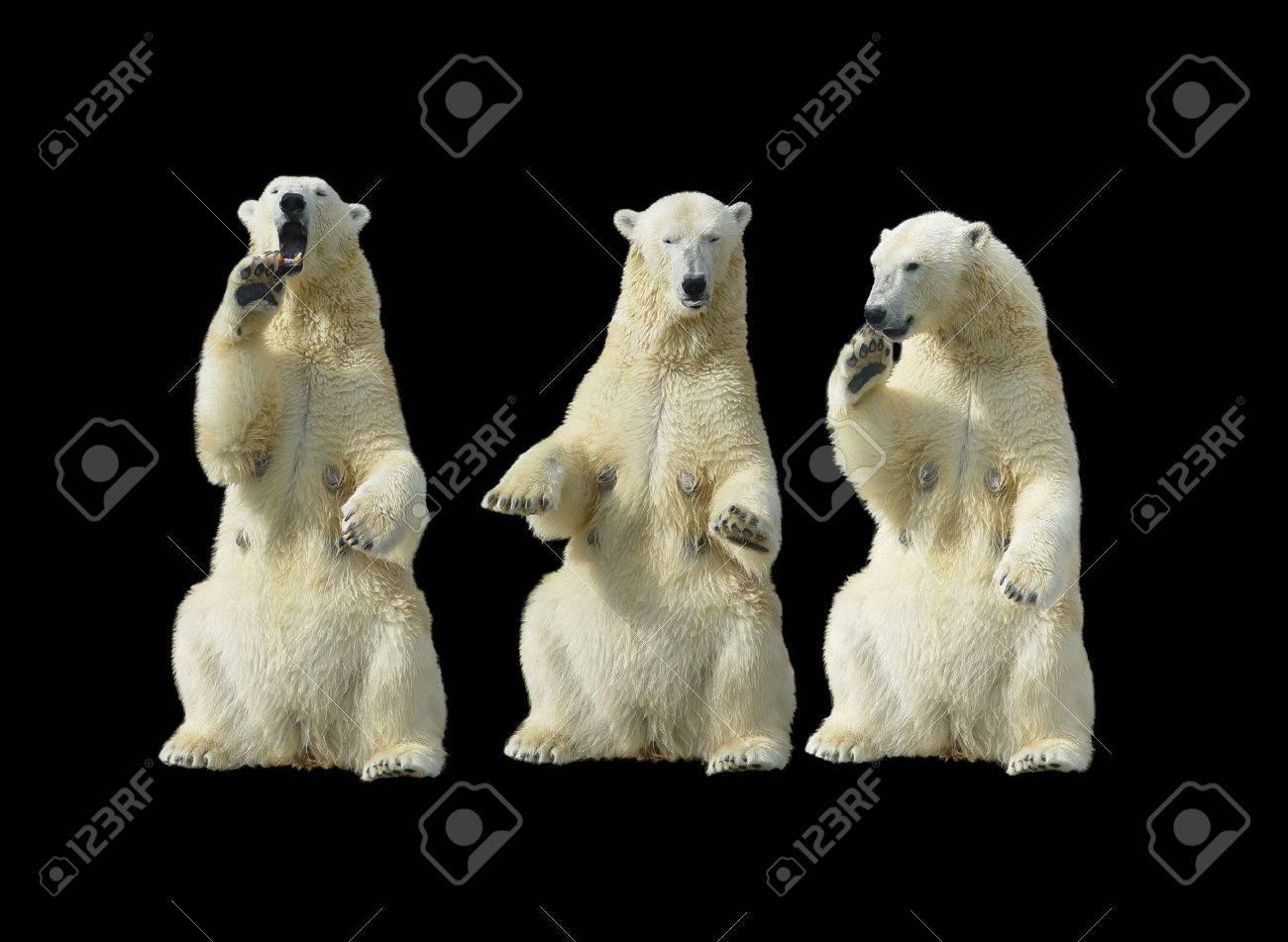 Three polar bears - females standing up on the hind legs - 2682572