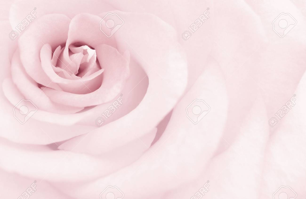 The tone delicate rose in form of art postcard - 3042167