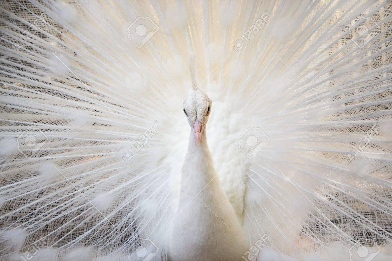 White peacock - 9837962