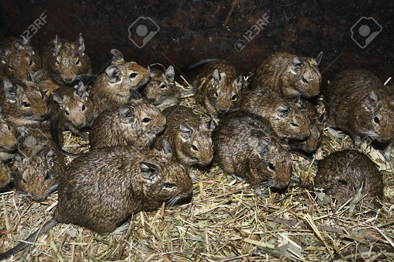 A large number of rats in the barn - 13298316