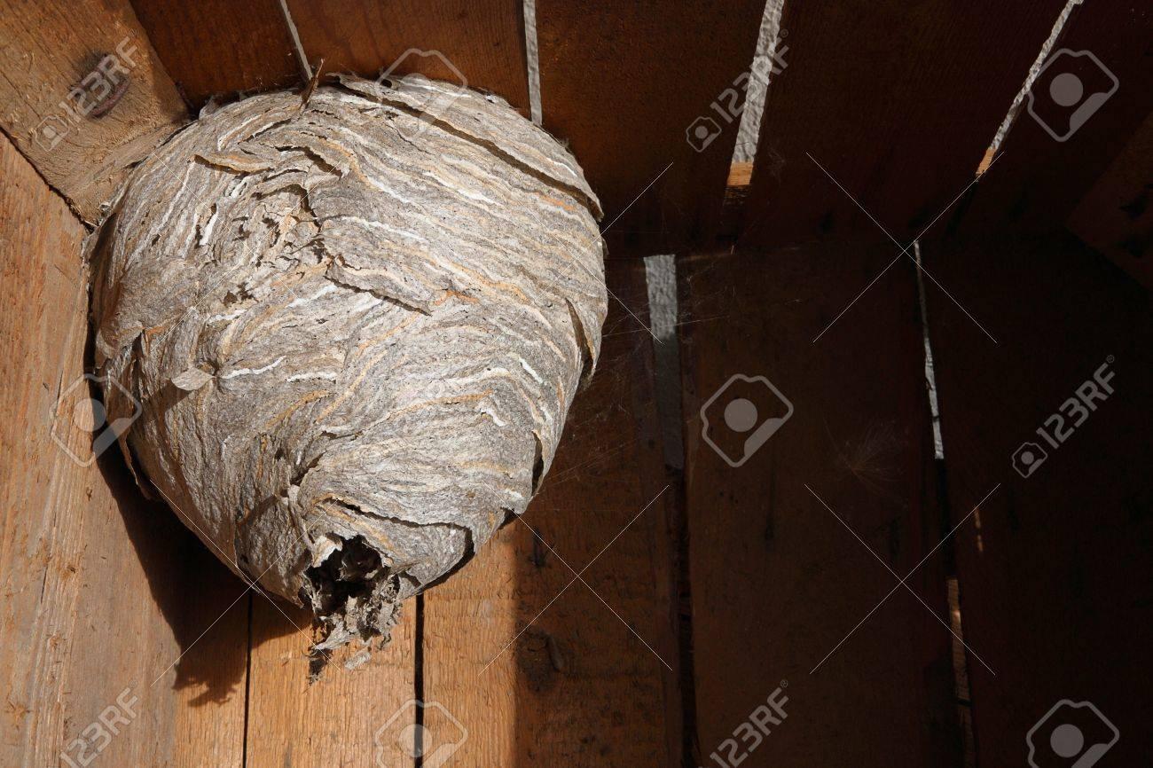 Hornet's nest in wooden box - 13960298