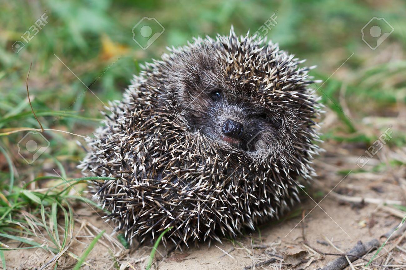 Frightened hedgehog curled up - 14486979