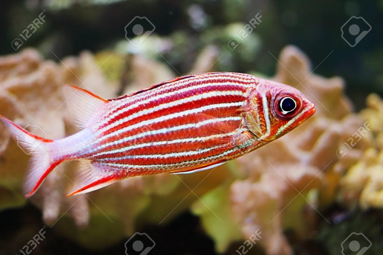 Crowned squirrelfish - 40611197