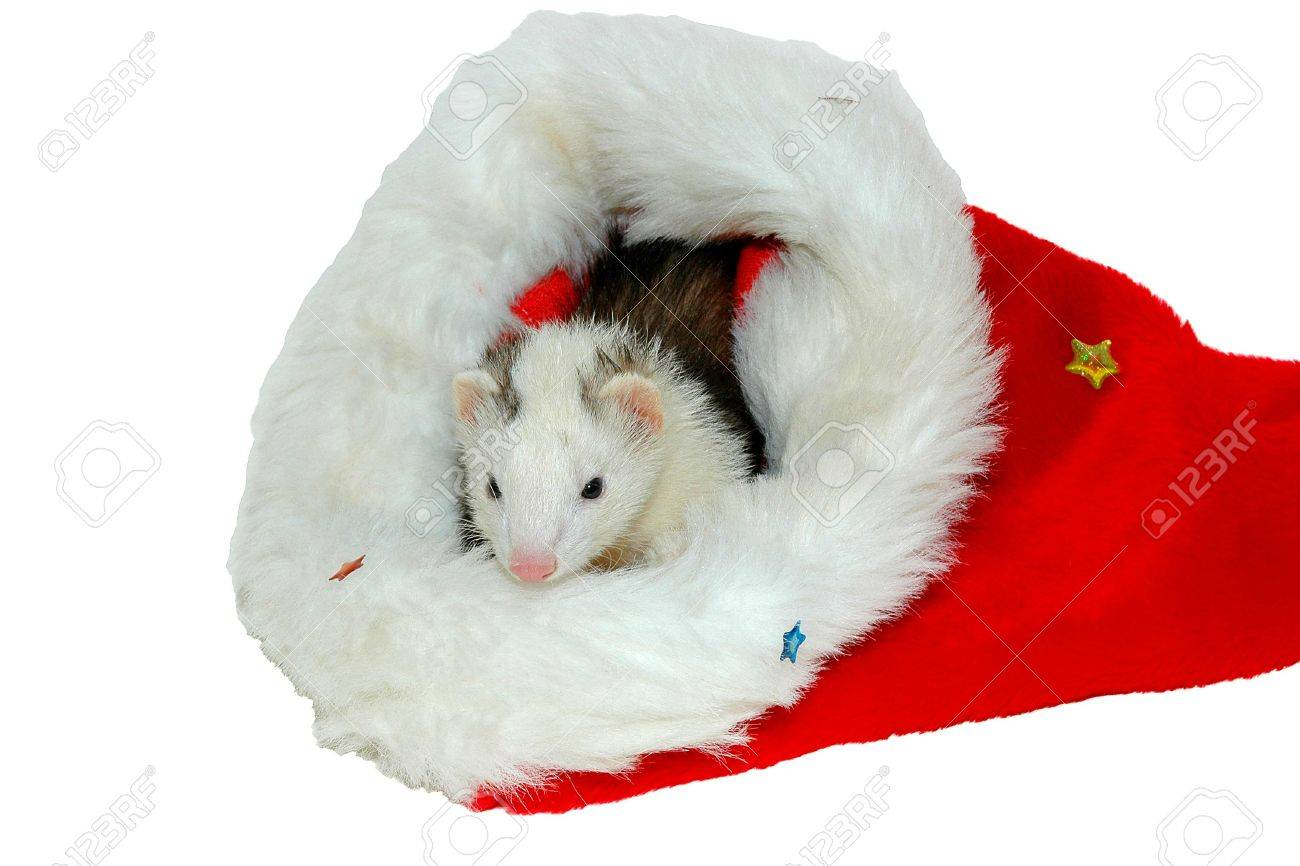 Christmas Ferret.Ferret In Christmas Bonnet Close Up