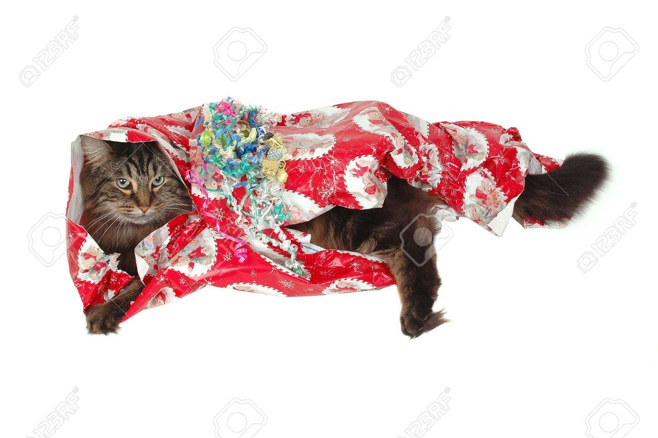 Cute Cat Christmas Or Birthday Gift Close Up Stock Photo