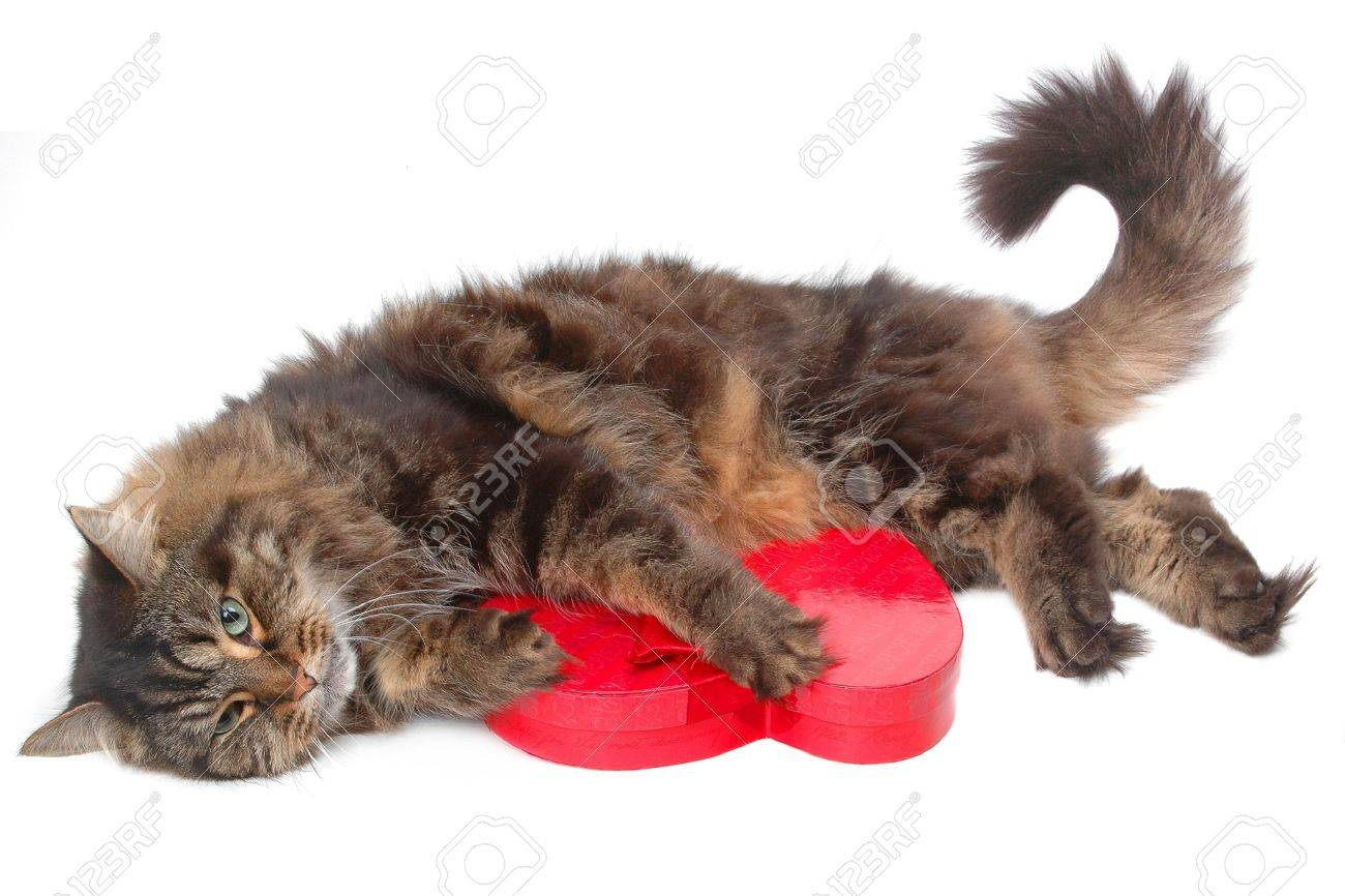 Cute Cat With Valentine Day Chocolate Box Close-up Stock Photo ...