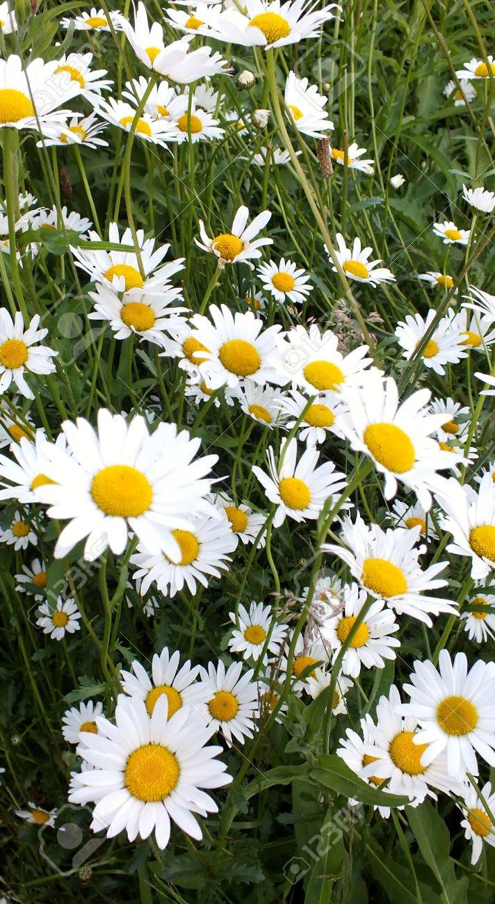 Field Of Daisies Yellow And White Wild Flowers Stock Photo Picture