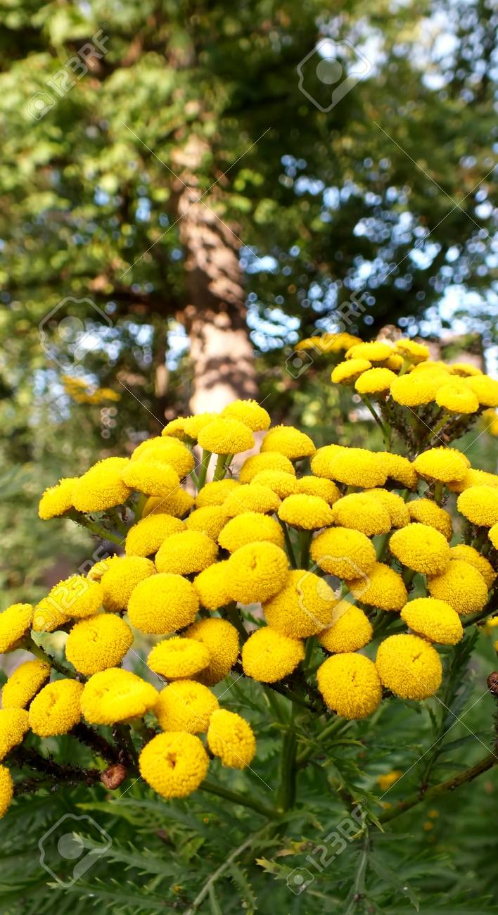 Yellow billy ball flowers with tree in background stock photo stock photo yellow billy ball flowers with tree in background mightylinksfo