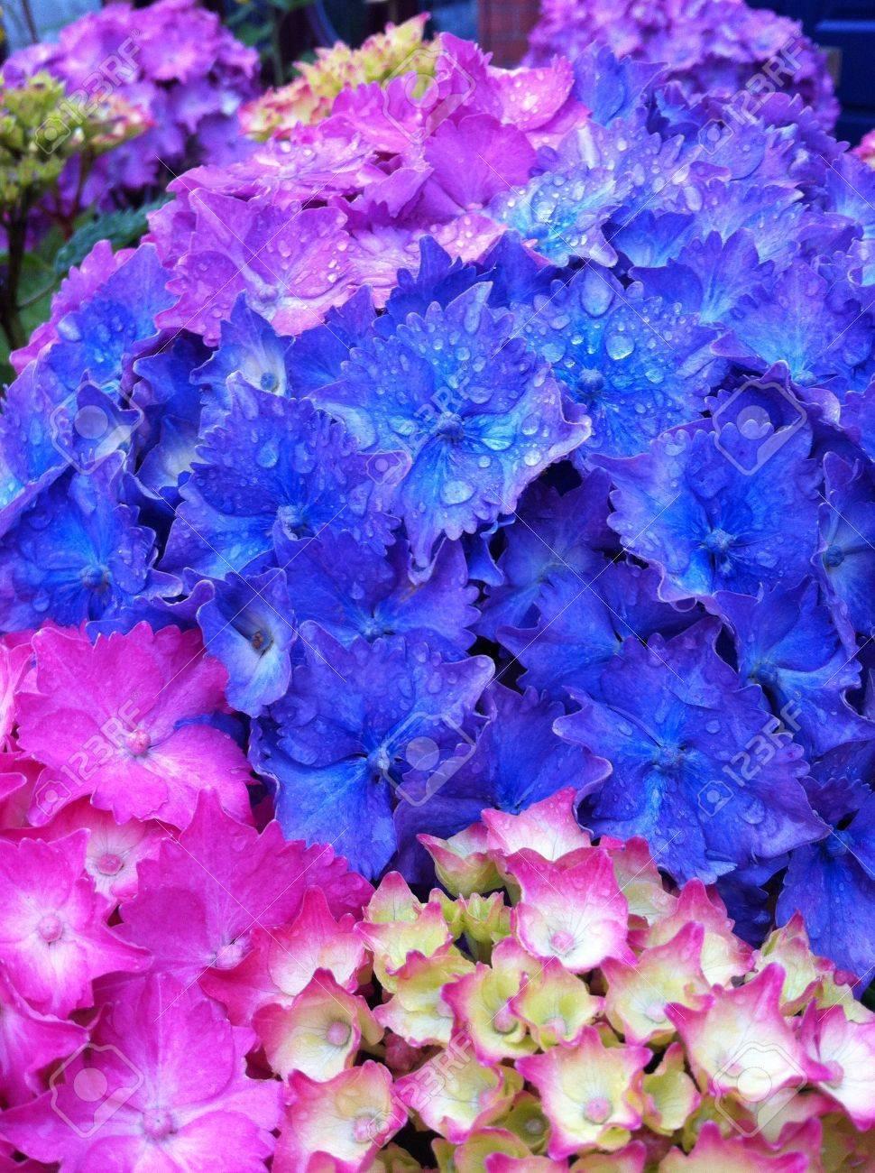 azul prpura y flores de color rosa hortensias despus de una lluvia de verano foto de