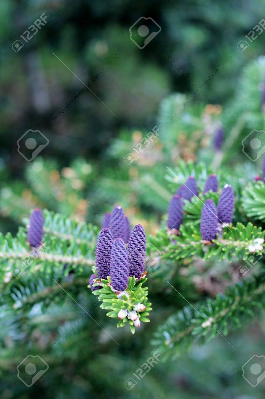 Fresh Purple Pine Cones Spring Time Conifer Tree Shallow Depth