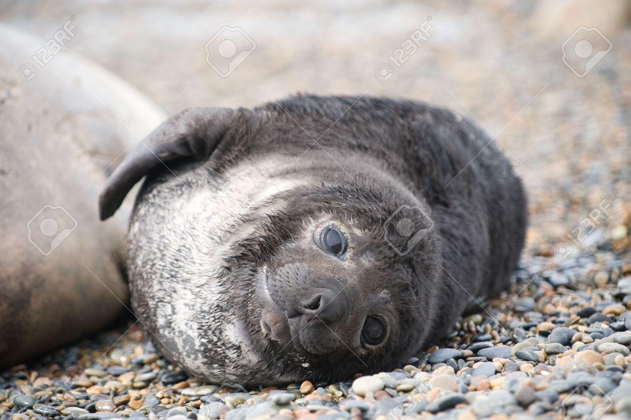 Cute baby elephant seal,