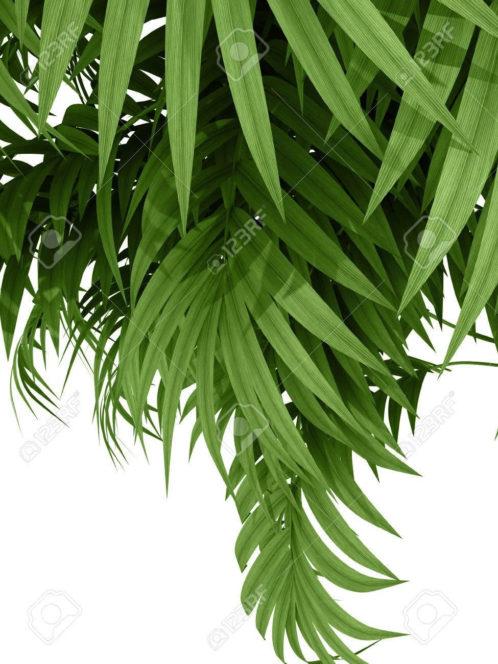 Siepe Di Bambu.Tropicali Pianta Fernleaf Rami Siepe Di Bambu Su Sfondo Bianco
