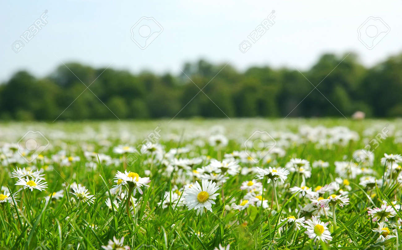 Field with daises - shallow field of depth Stock Photo - 565724