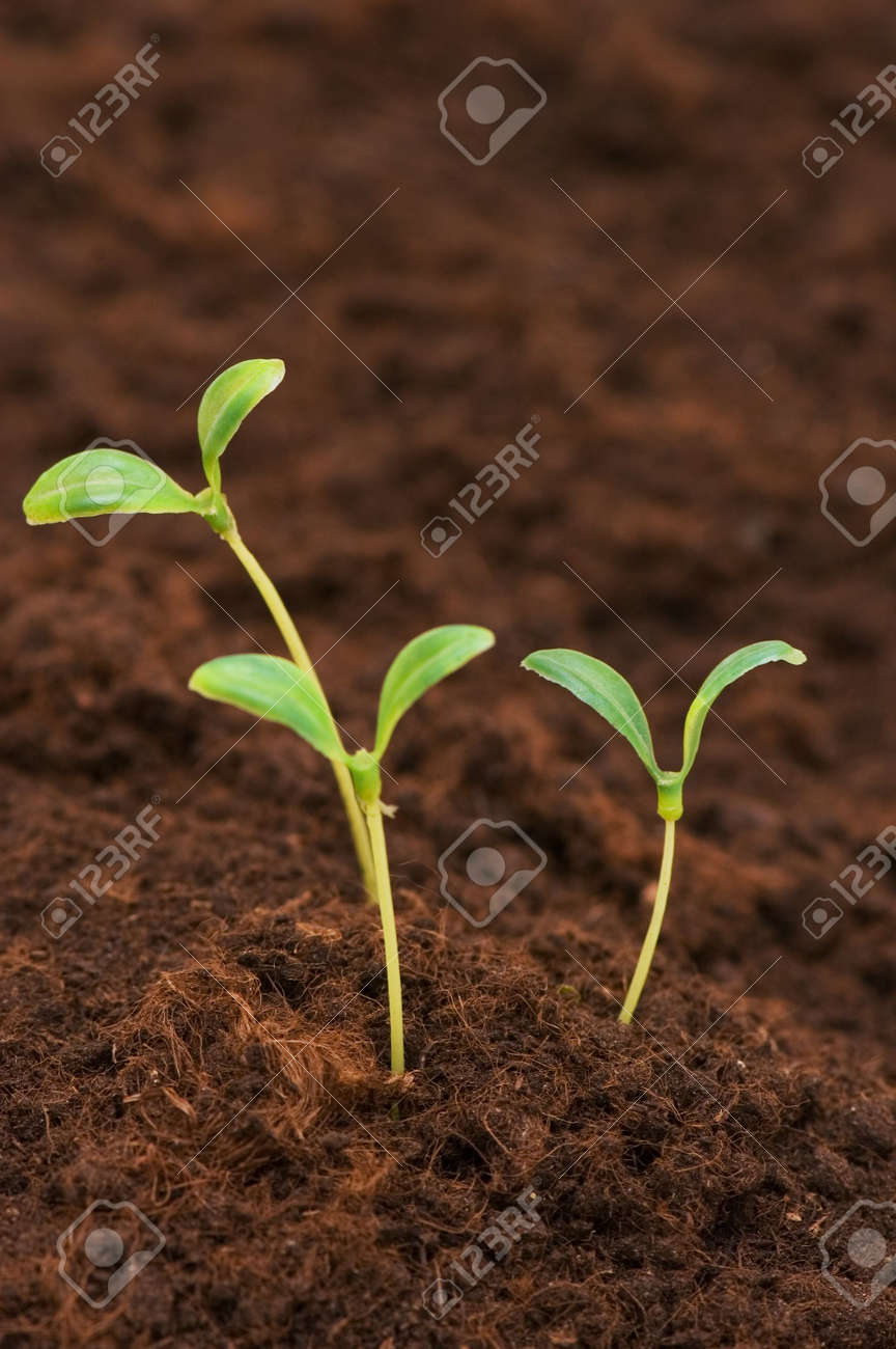 Three green seedlings growing out of soil Stock Photo - 2677384