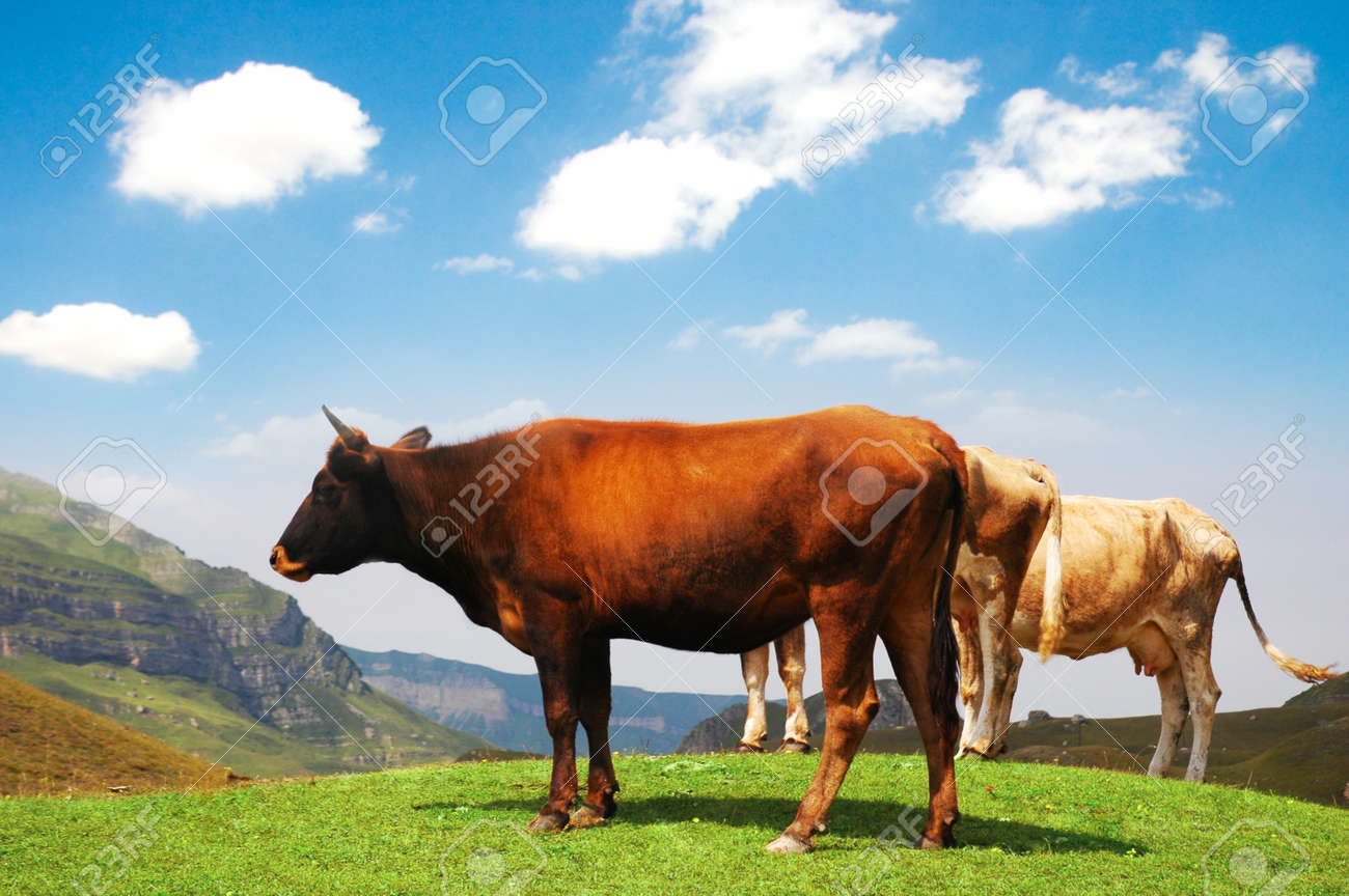 Three cows at the top of the hill Stock Photo - 4159254