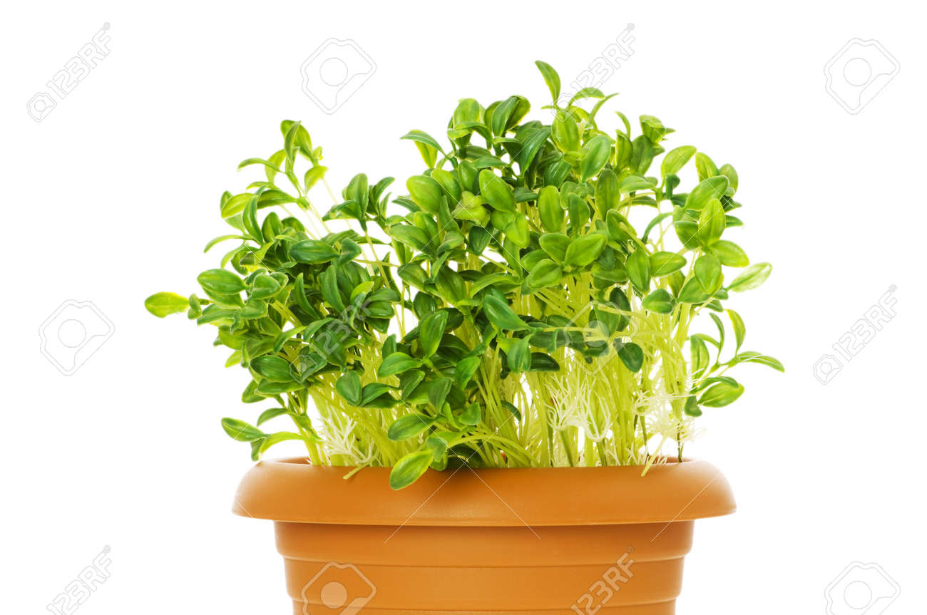 Green saplings growing in the clay pot Stock Photo - 5398684
