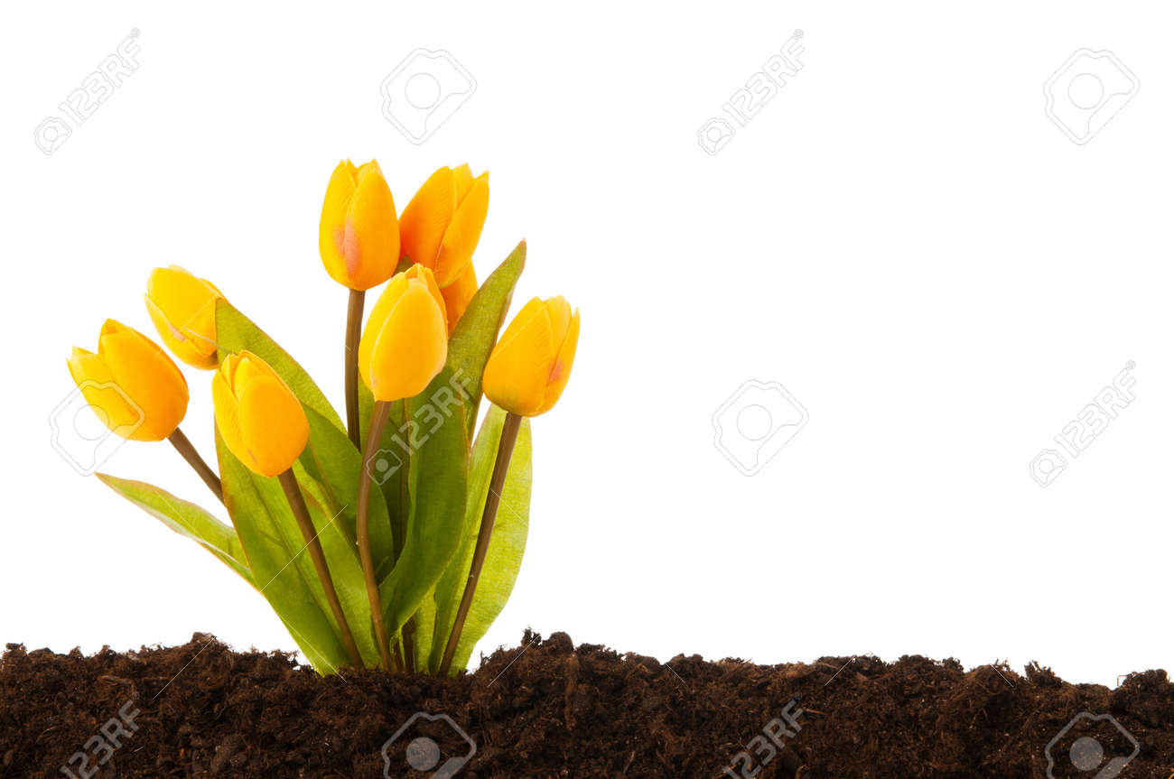 Colourful tulip flowers growing in the soil Stock Photo - 8657136