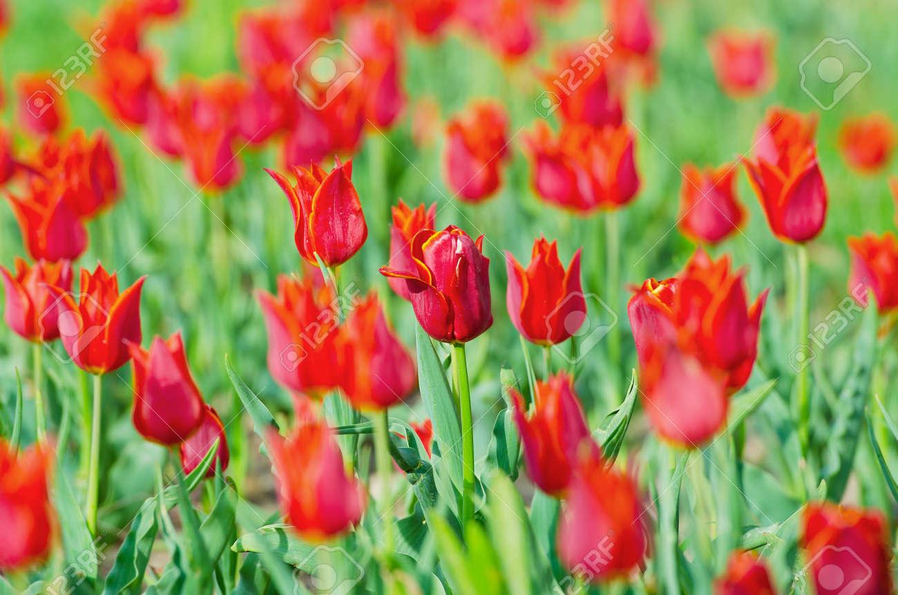 Flowers tulips in the garden Stock Photo - 13523339