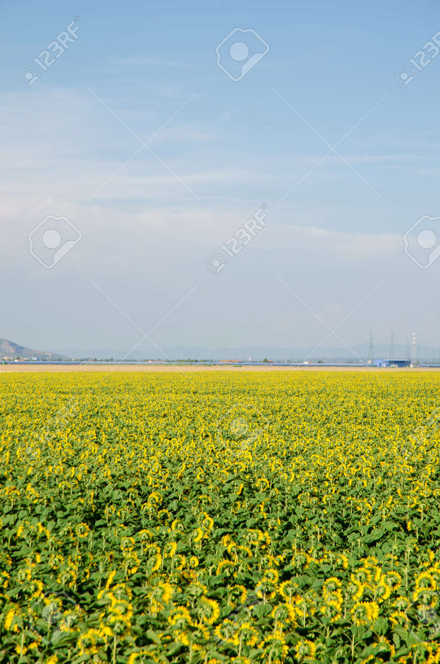 Sunflower field on bright summer day Stock Photo - 18174111