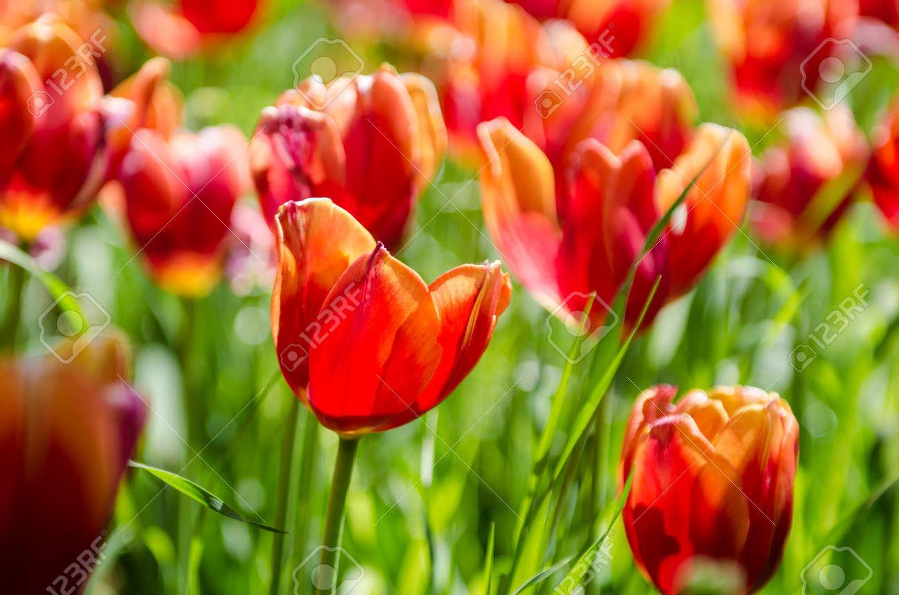 Tulip field on bright summer day Stock Photo - 19330926