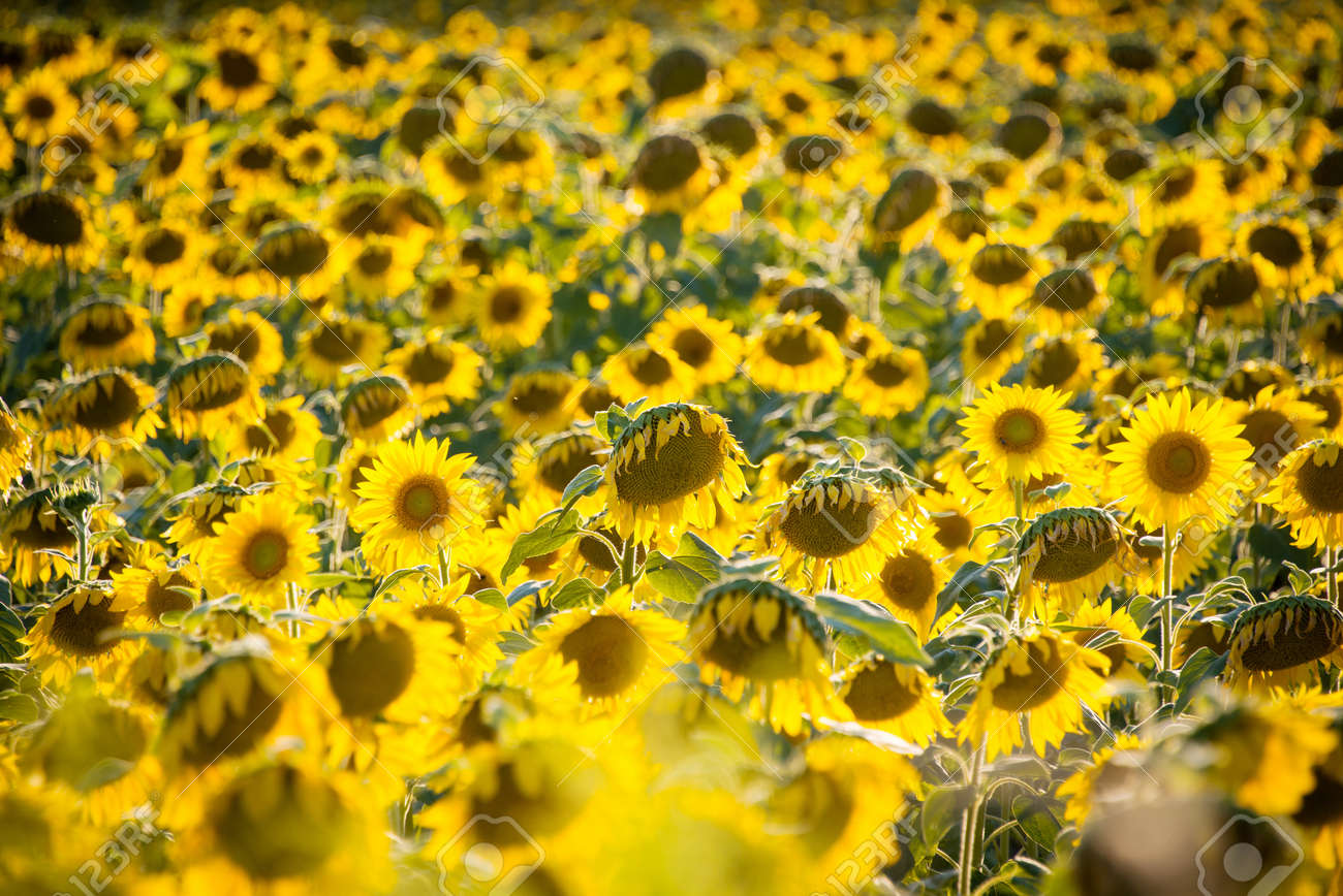 Sunflower field during bright summer day Stock Photo - 21959358