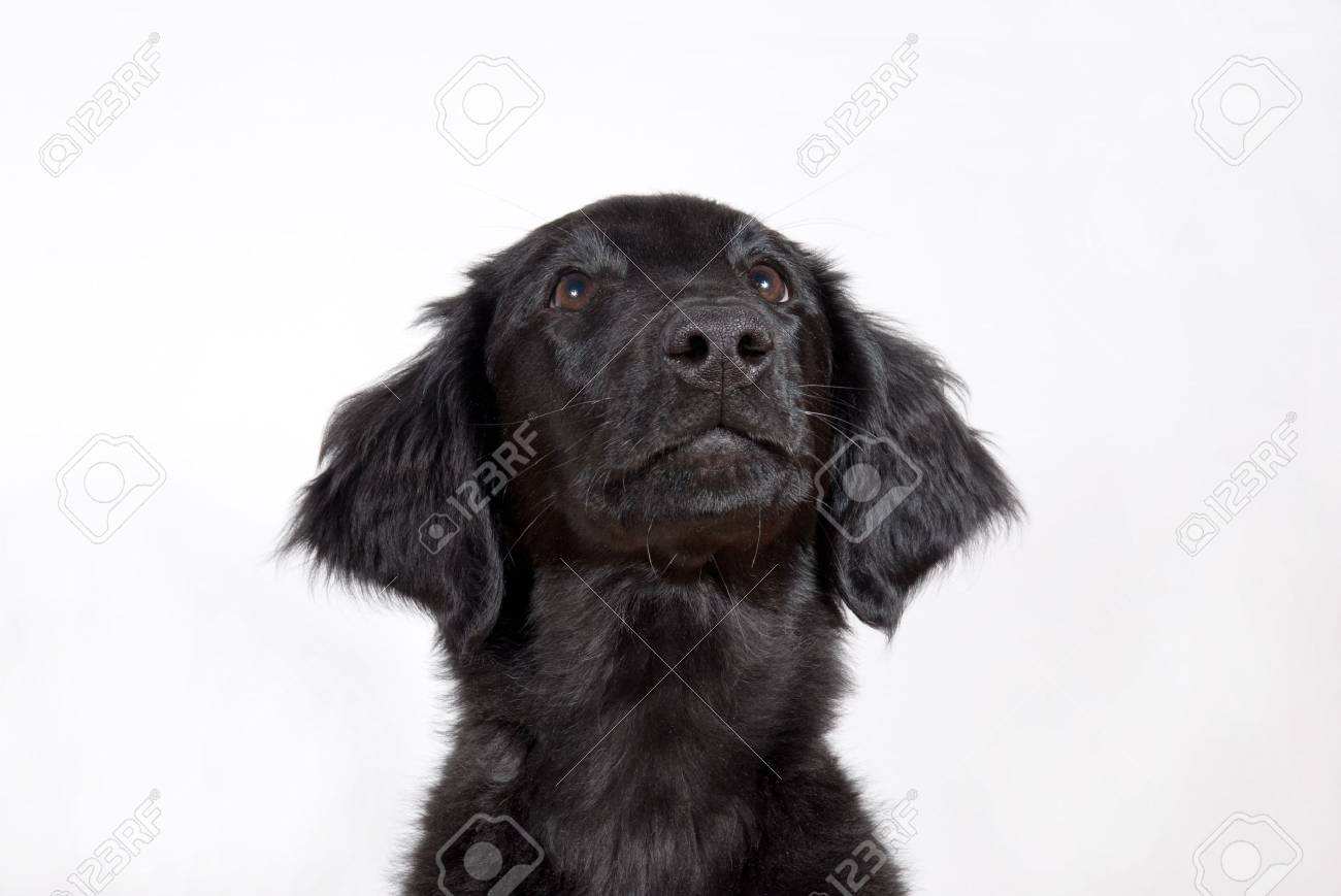 a black puppy looking hopefully, with copyspace Stock Photo - 19156976