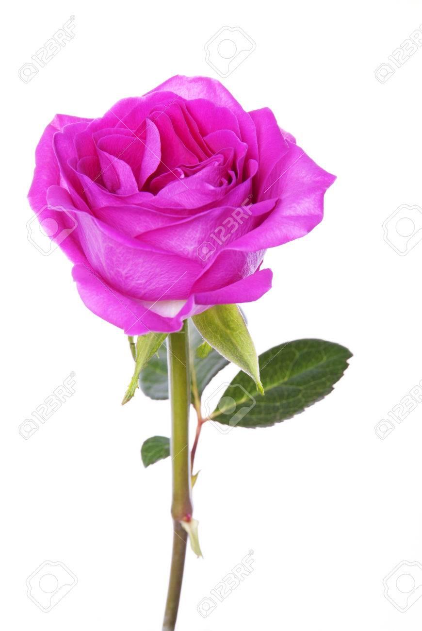 one single pink rose on white background isolated stock photo
