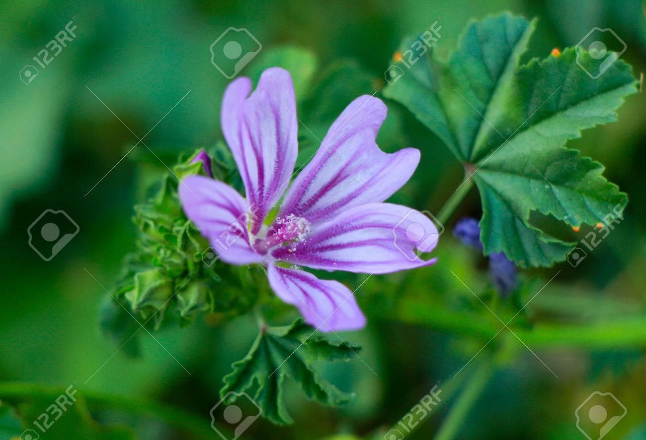 Fleurs Violettes Mauve Ou Mauve Sauvage En Mediterranee Mallow