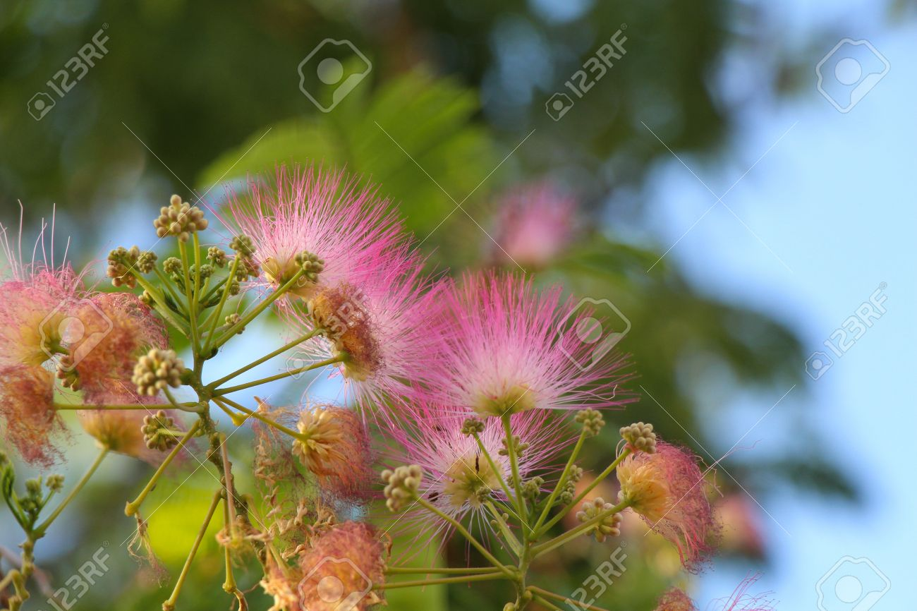 Beautiful And Unusual Fluffy Pink Flowers Acacia In The Garden