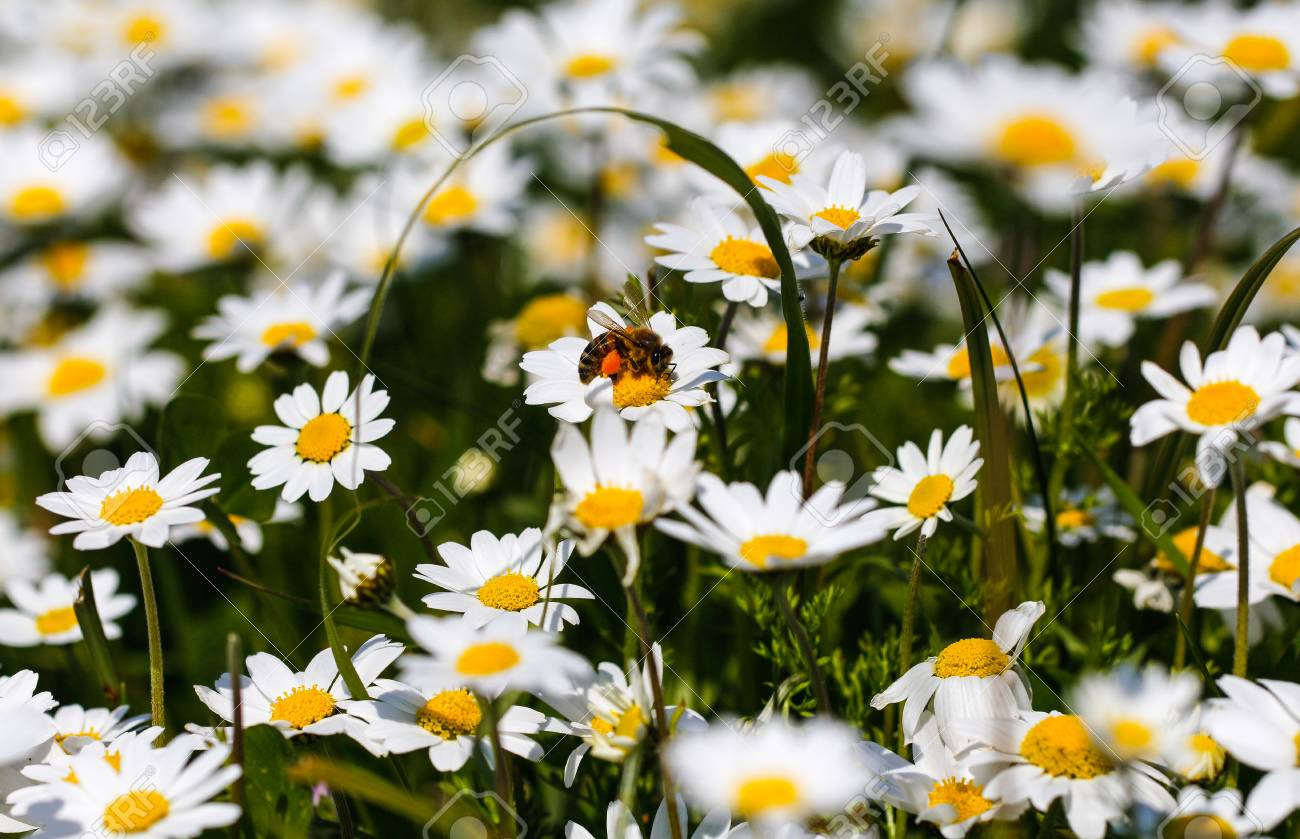 bee with pollen white daisy flowers white daisies spring flowers