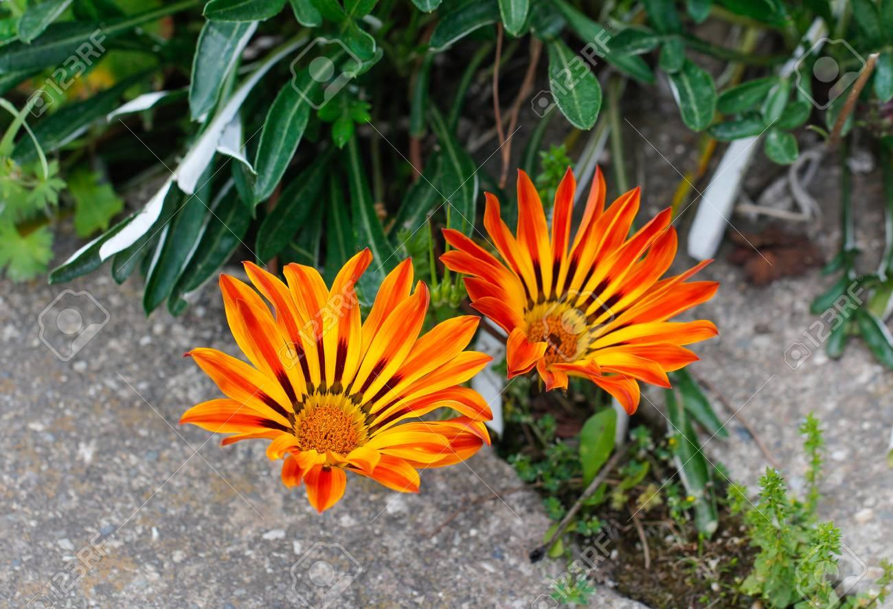 Fleurs Gazania Jaune Vibrant Originaire D Afrique Du Sud Jaune