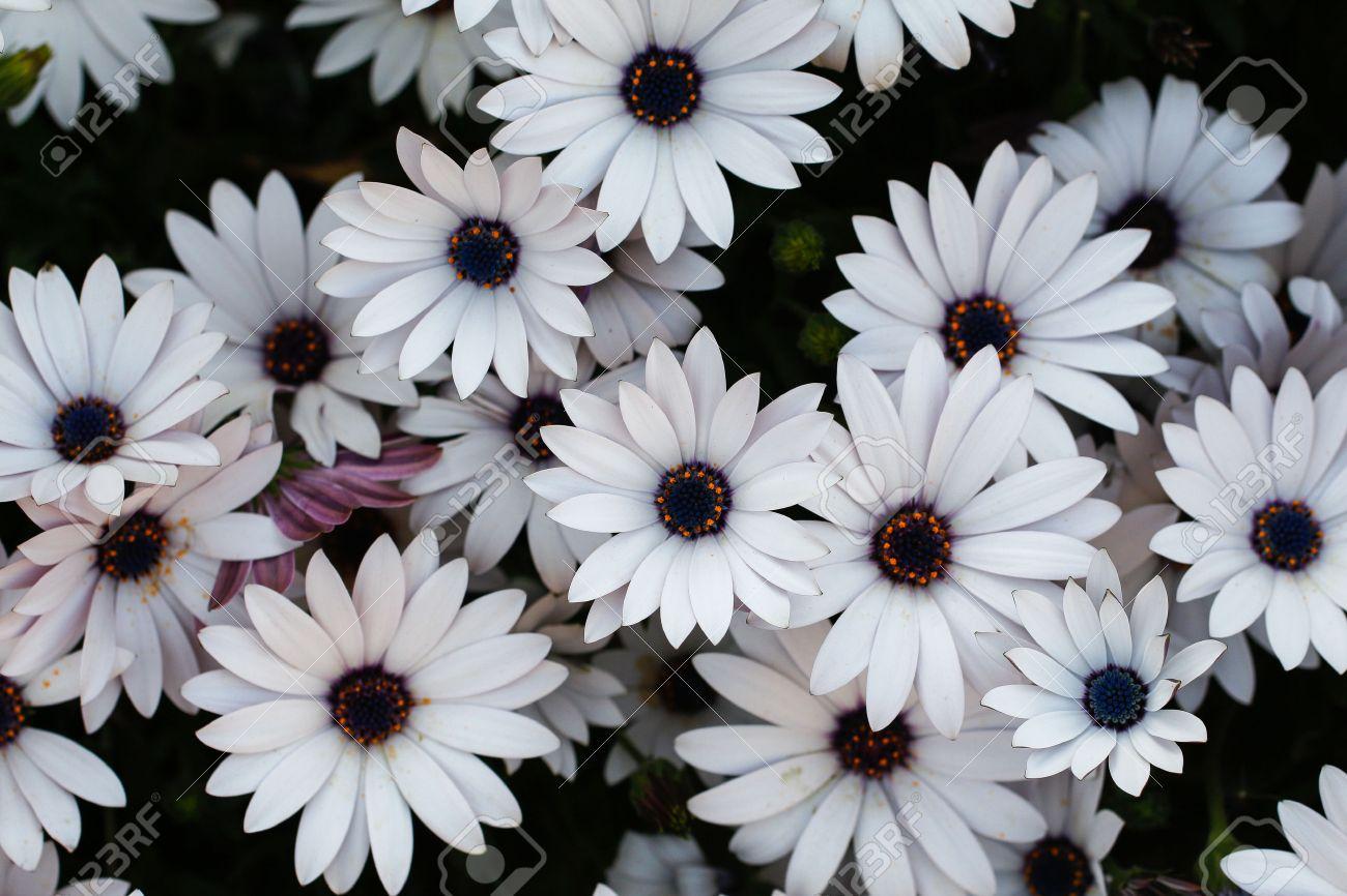 White Daisy Flowers White Daisies Spring Flowers Stock Photo