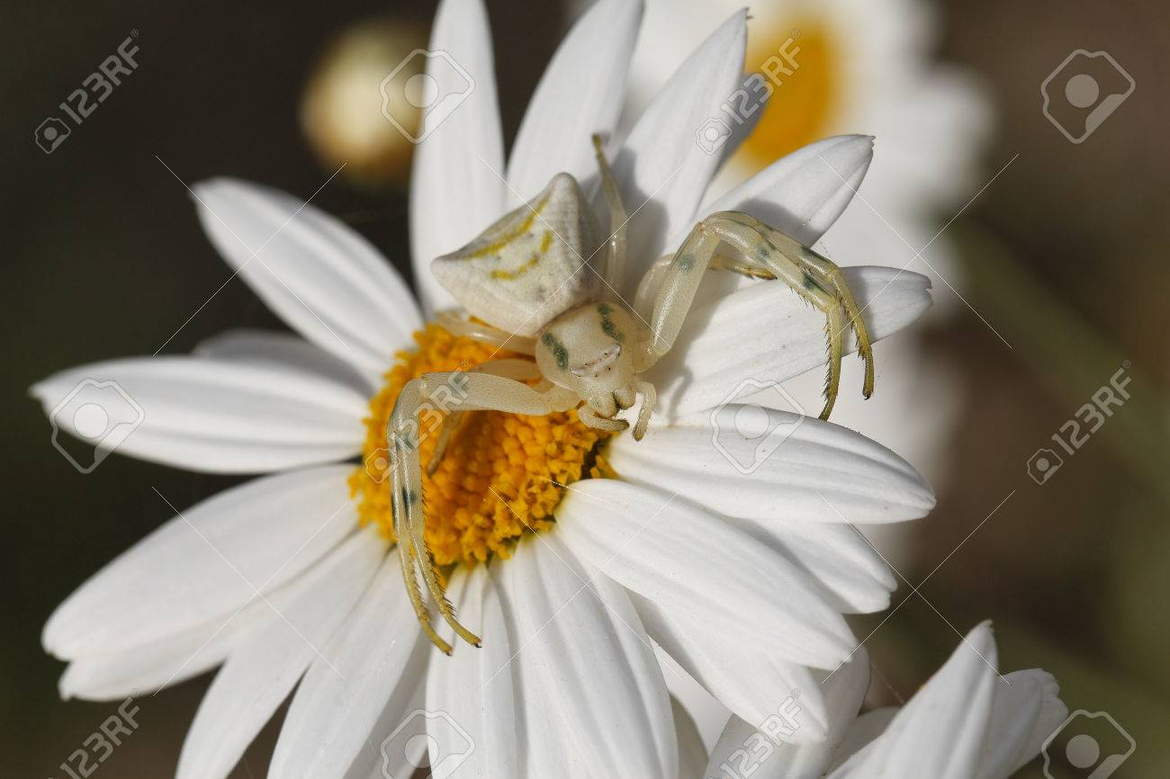 Crab spider preying bumble bee garden spiders spiders flower spiders - Crab Spiders Prey Close Up White Spider Thomisus Onustus In White Daisy Flower
