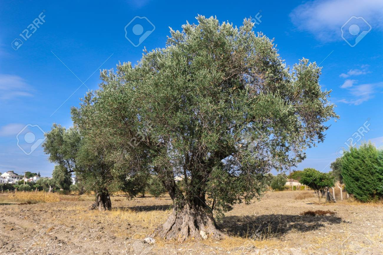 Big And Old Ancient Olive Tree In The Olive Garden In The Mediterranean.  Stock Photo