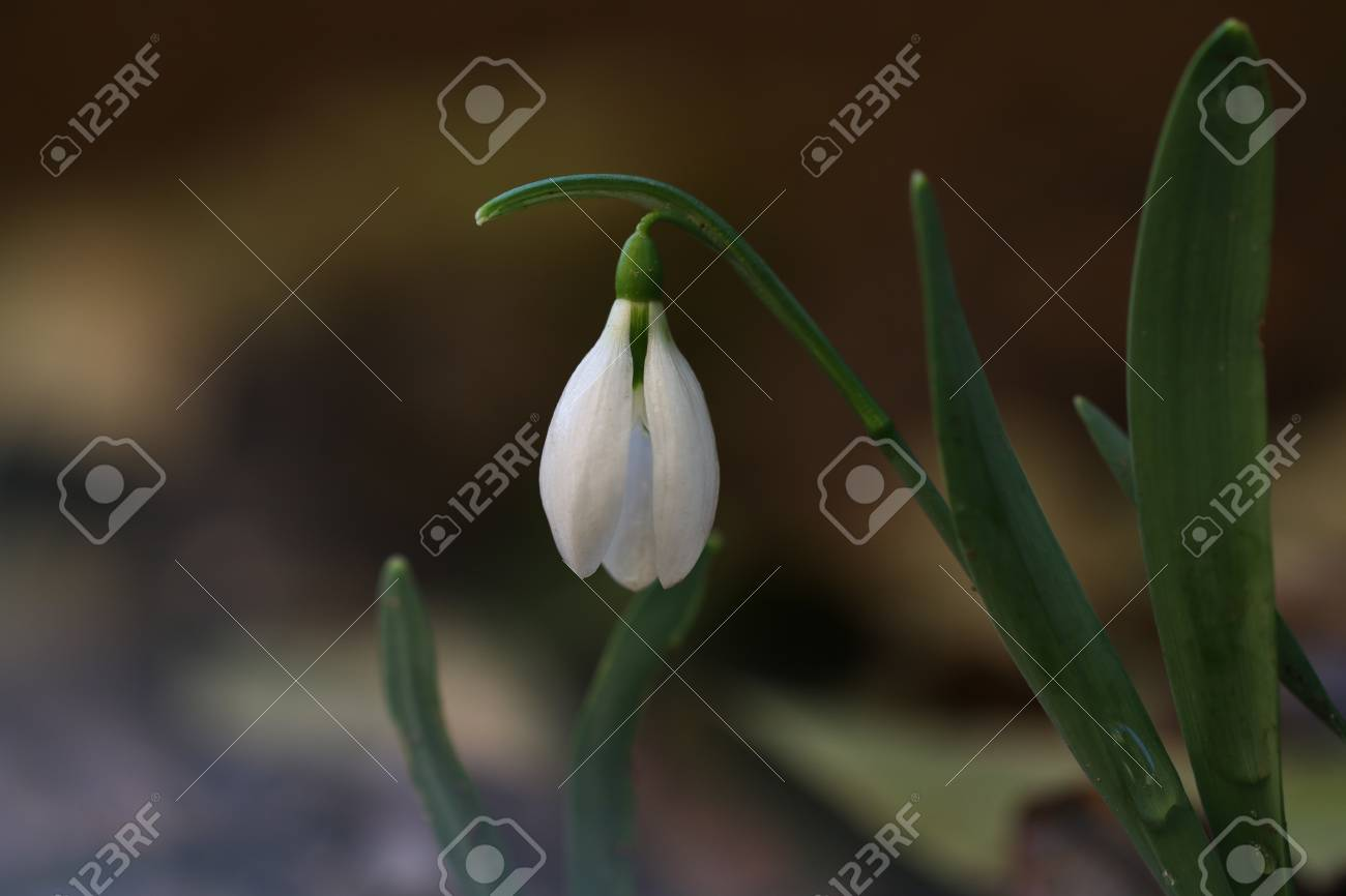 Close up of snowdrop flowers in spring season first flowers stock close up of snowdrop flowers in spring season first flowers that blossom after a long mightylinksfo