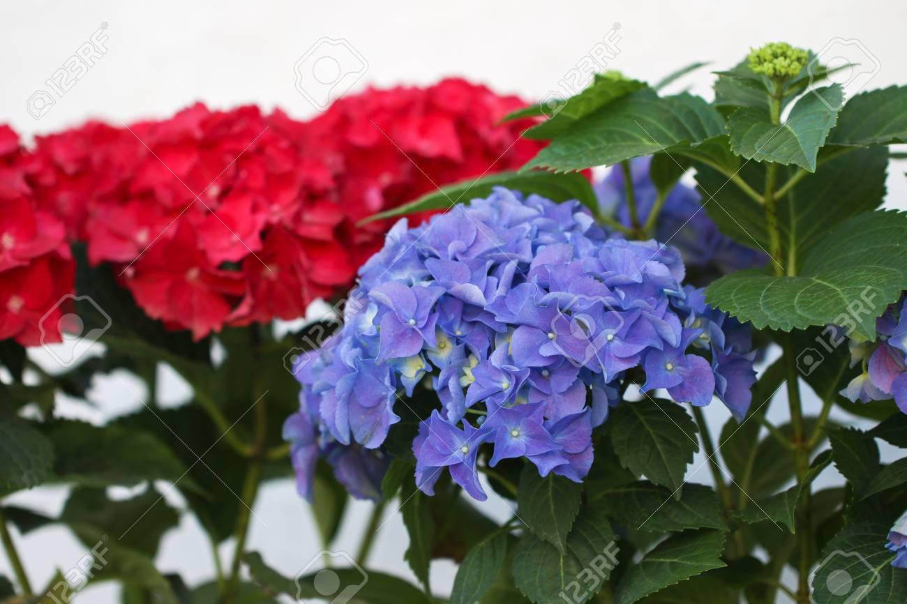 Flores De Hortensias Azules Y Rojas Hortensia Nombres Comunes