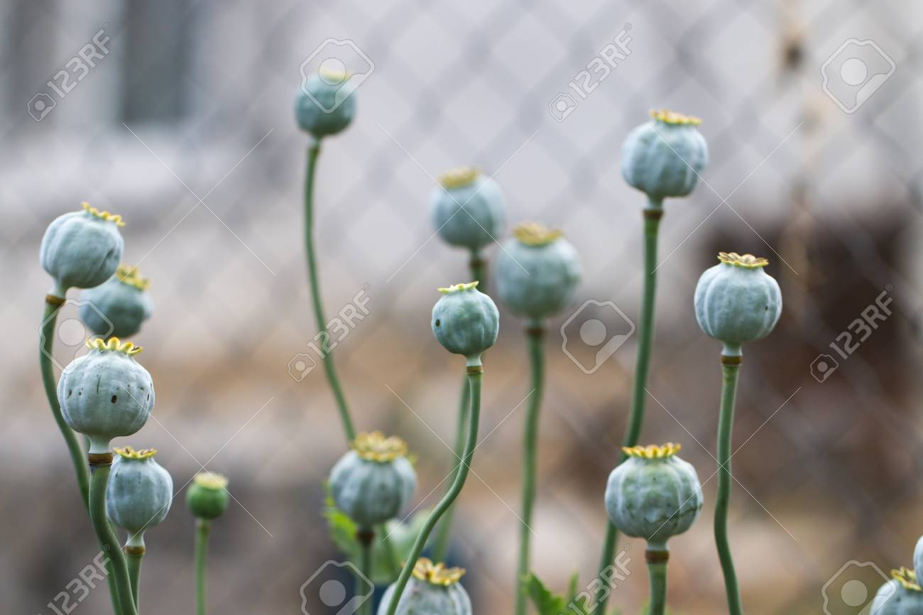 Poppy Papaver Somniferum Pods In Garden Papaver Somniferum