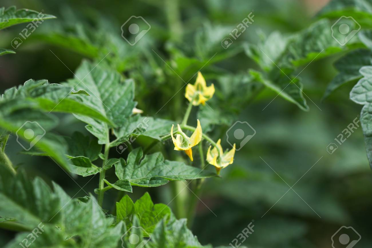 Tomato Plants With Yellow Flowers Stock Photo Picture And Royalty