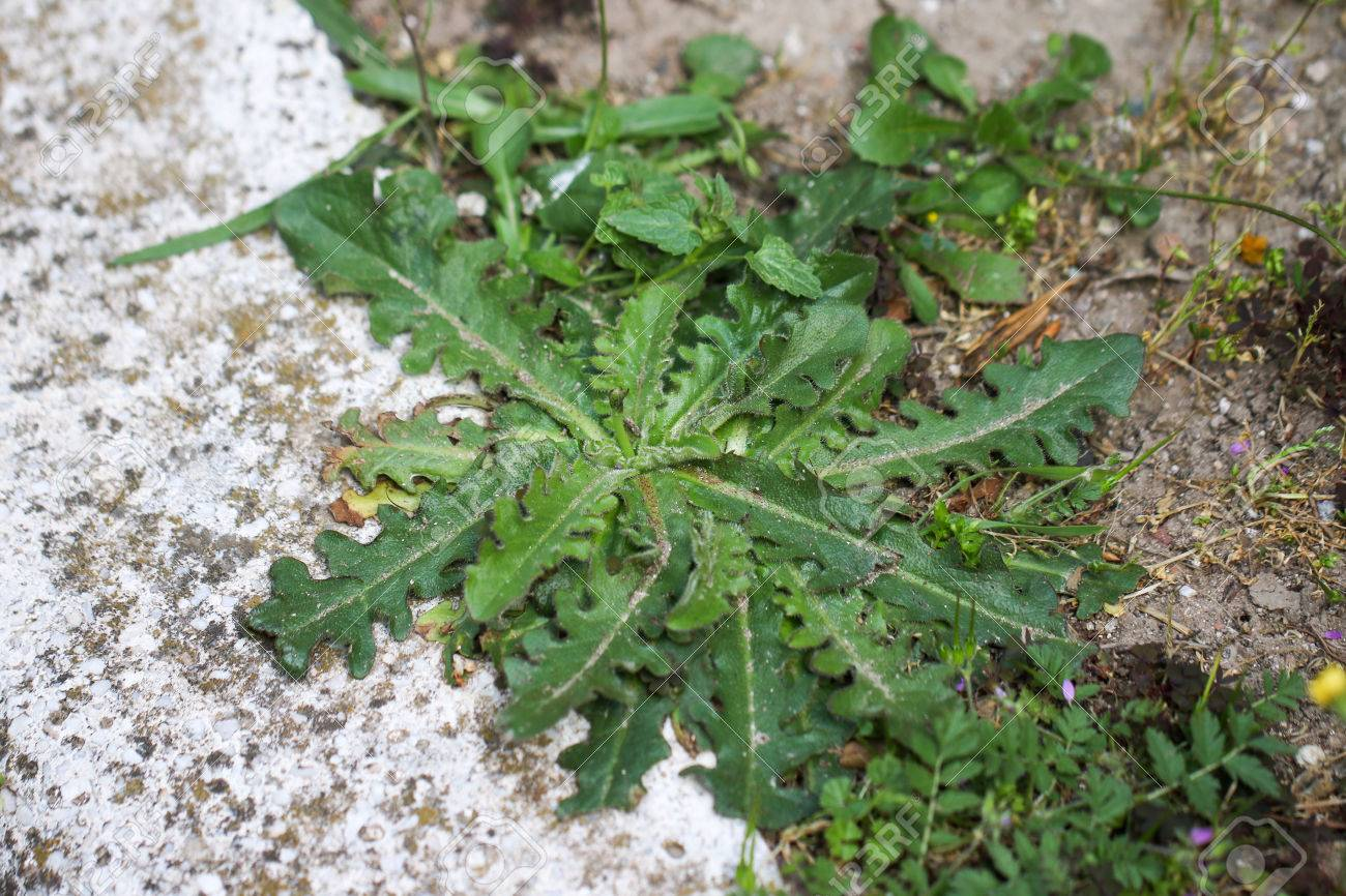 Common sowthistle sonchus oleraceus has yellow flowers in spring common sowthistle sonchus oleraceus has yellow flowers in spring to summer with fluffy thistle mightylinksfo