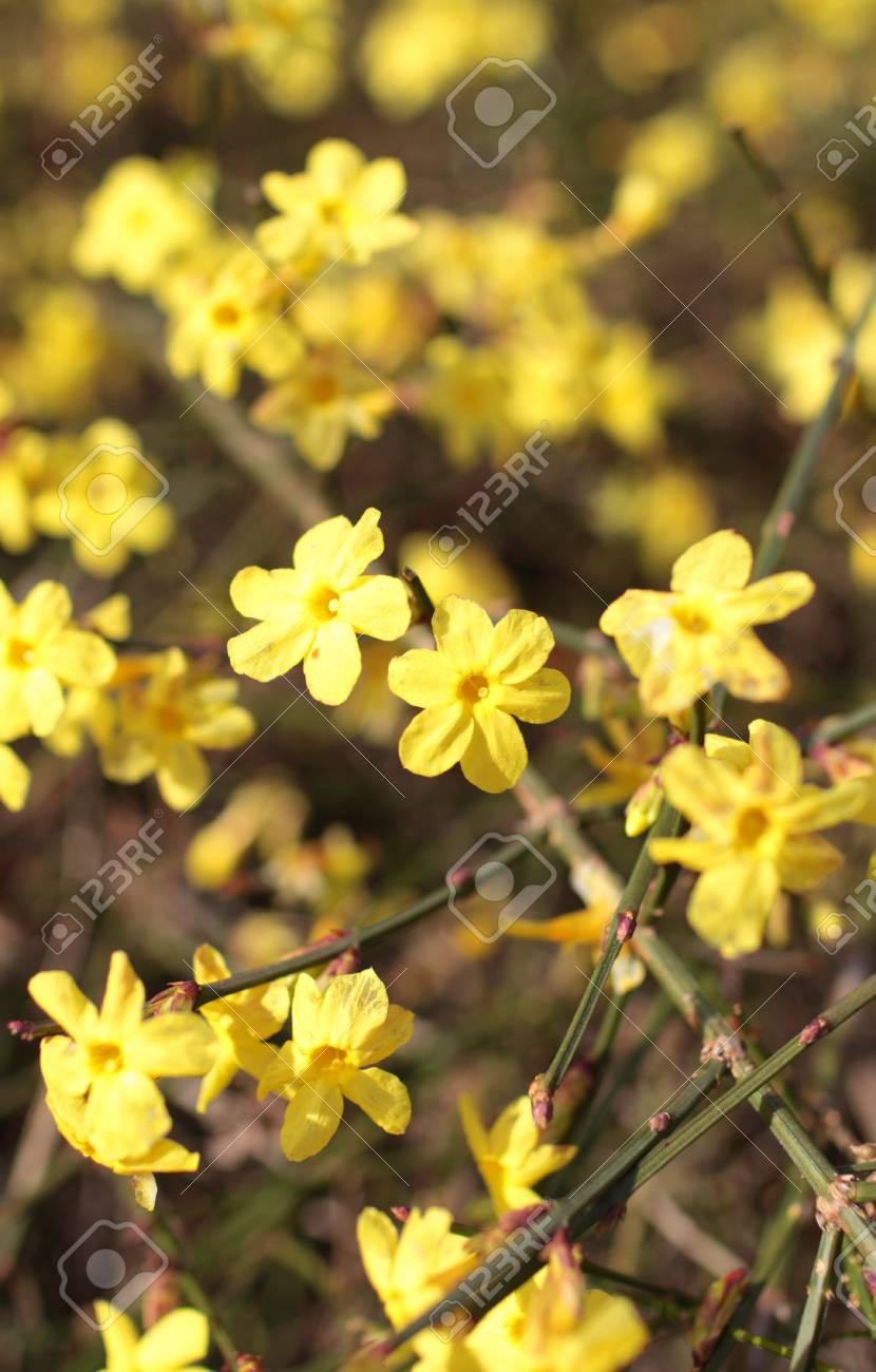 Yellow Flowers Of Winter Jasmine Stock Photo Picture And Royalty