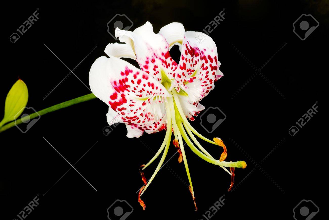 Lilium speciosum var. gloriosoides was the most beautiful flower in East Asian. It only live in Taiwan. Stock Photo - 5492944