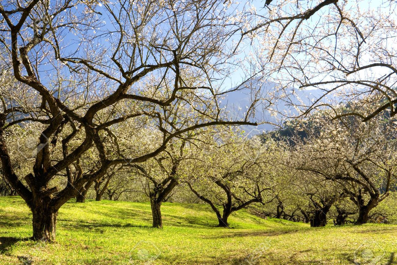 landscape of winter garden with plum blossom tree and mountain