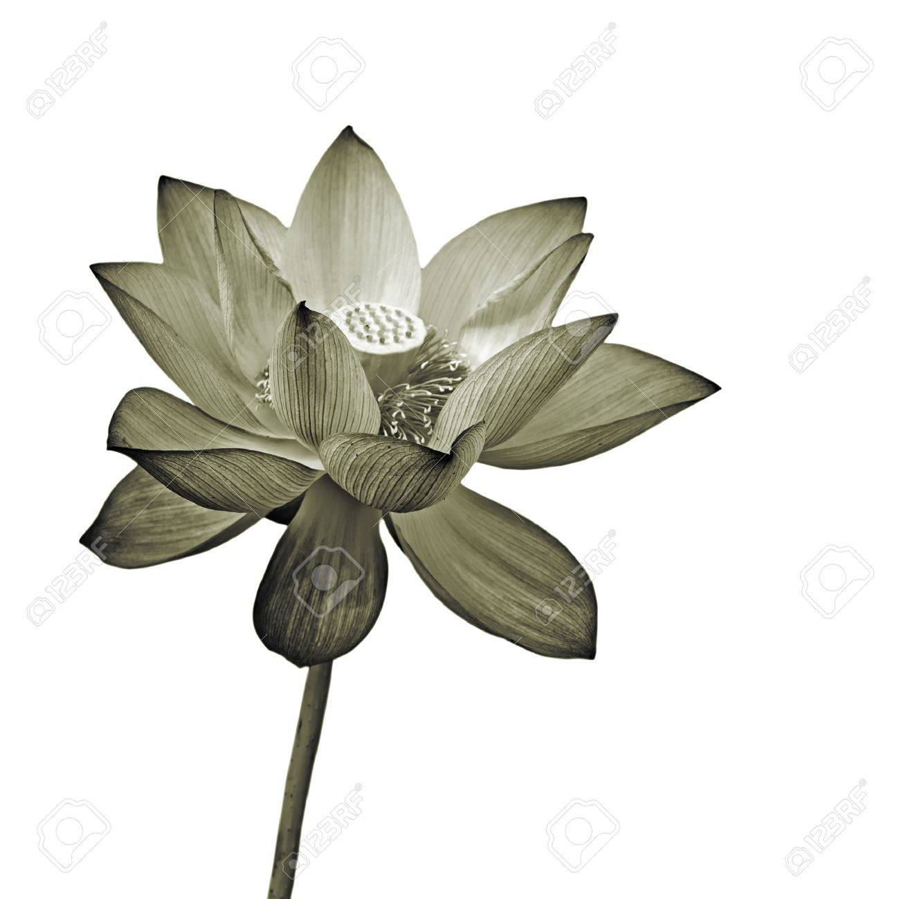 Lotus flower isolated flora object on white background stock photo lotus flower isolated flora object on white background stock photo 9898581 izmirmasajfo