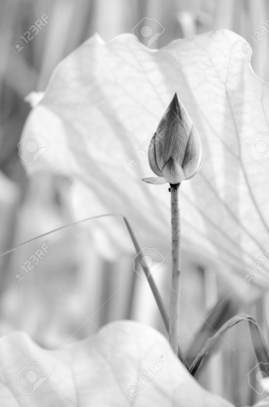 Scenery of lotus flower in the farm in black and white tone. Stock Photo - 20559387